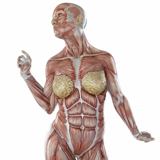 正常な筋肉 骨格矯正後の緩んだ筋肉